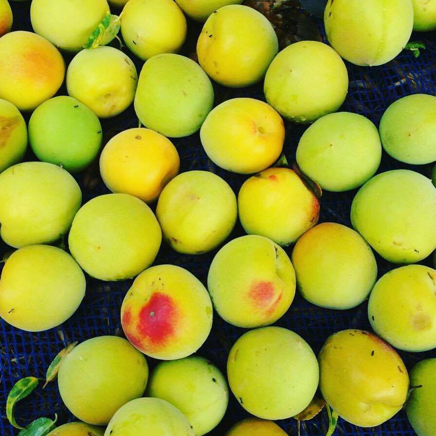 梅の実でいっぱい
